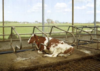 Brandsma Dairy Farm, Bolsward, May 2012